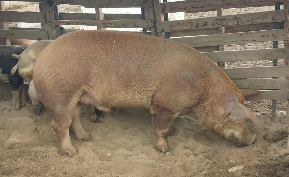 Wdr Tamworth Hogs
